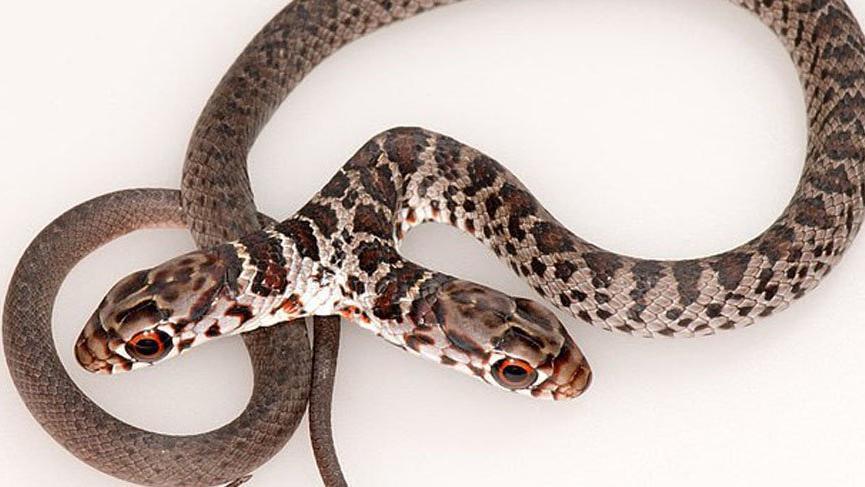 Çift başlı yılan heyecan yarattı