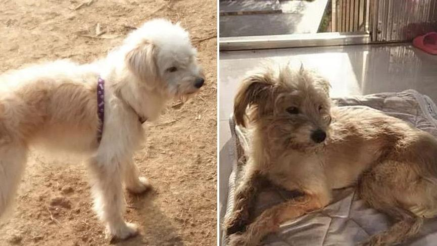 Motelde terk edilen köpek 60 kilometre yürüyüp evine döndü