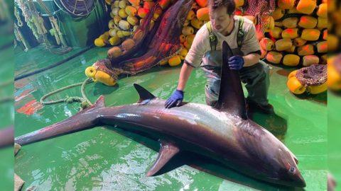 Ağlara takılan köpek balığı tekrar denize bırakıldı