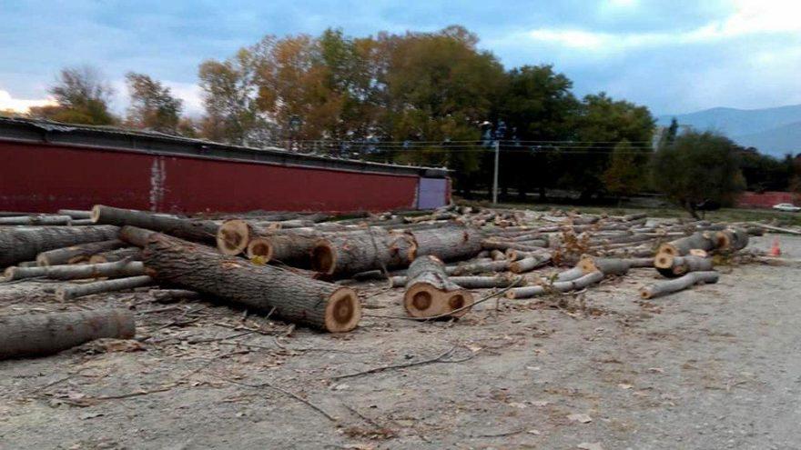 Başkan corona olunca keresteci vekili ağaçları kesti