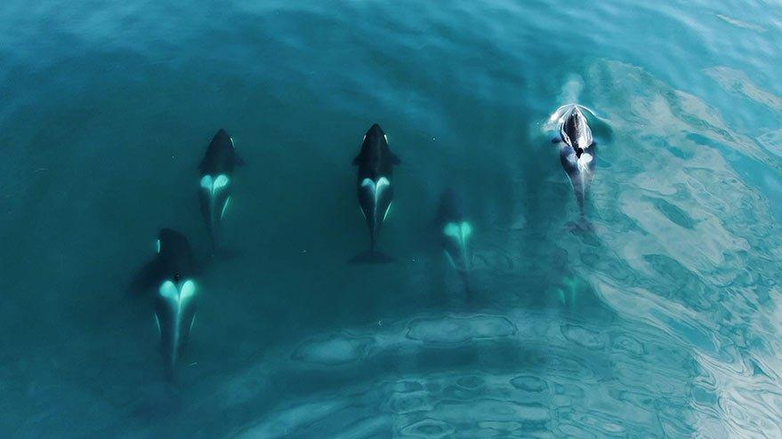 Köpek balığı turizmine 'katil balina' darbesi