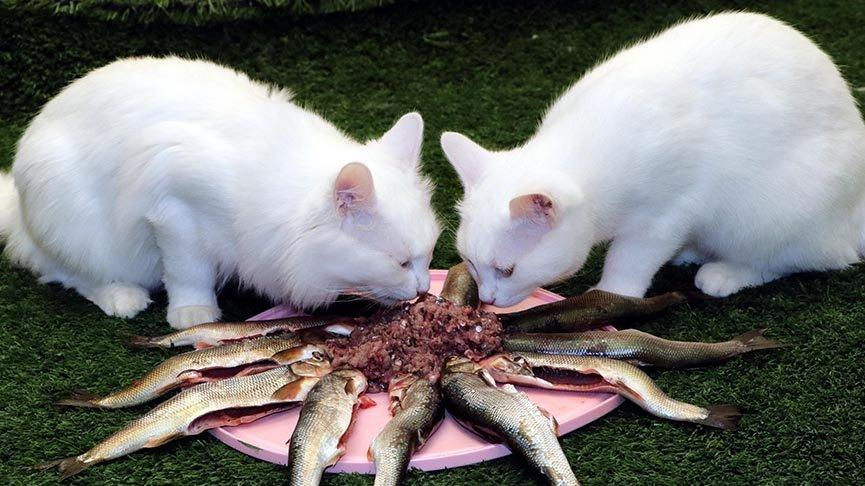 Ziyaretçisi azalan Van kedileri, inci kefaliyle besleniyor