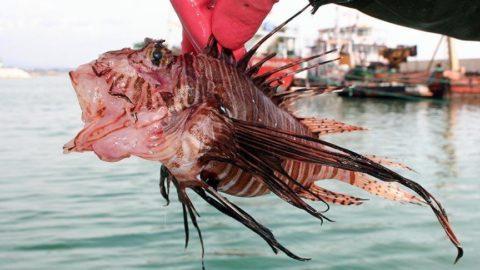 Akdeniz'de yayılıyor: Aslan balığına dikkat!