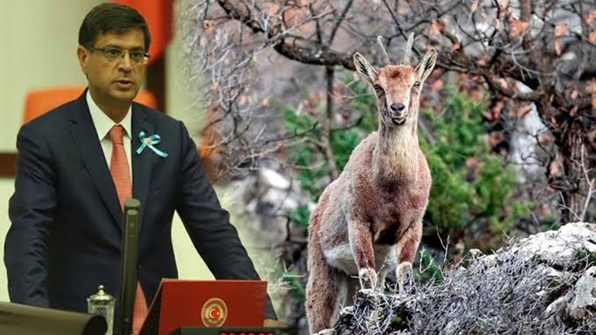 Tepkilerin ardından dağ keçisinin avlanma izni iptal edildi