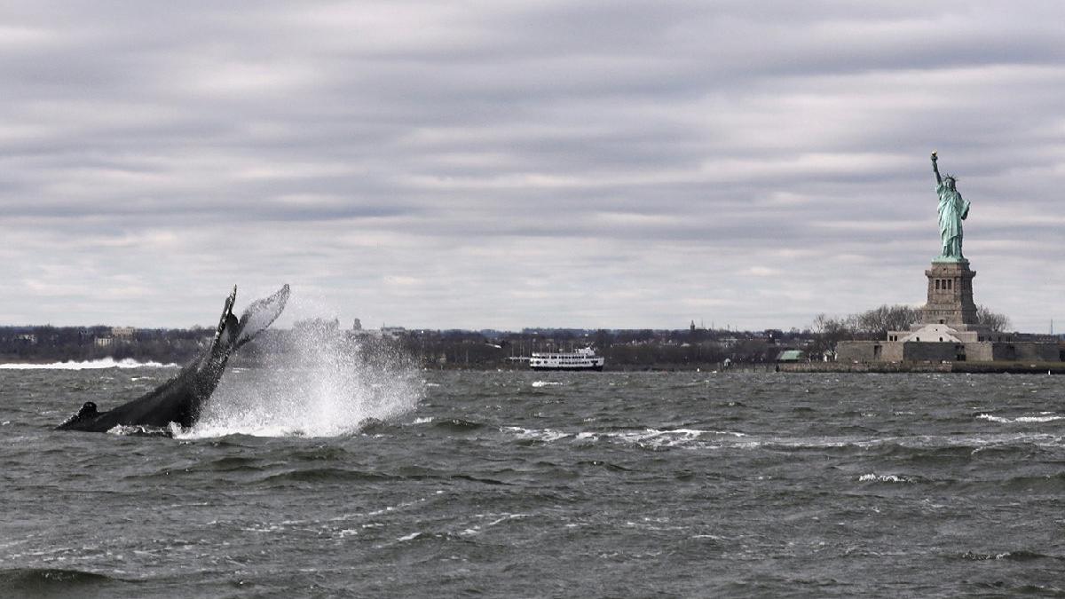 Hudson Nehri'nde yıllar sonra balina görüldü
