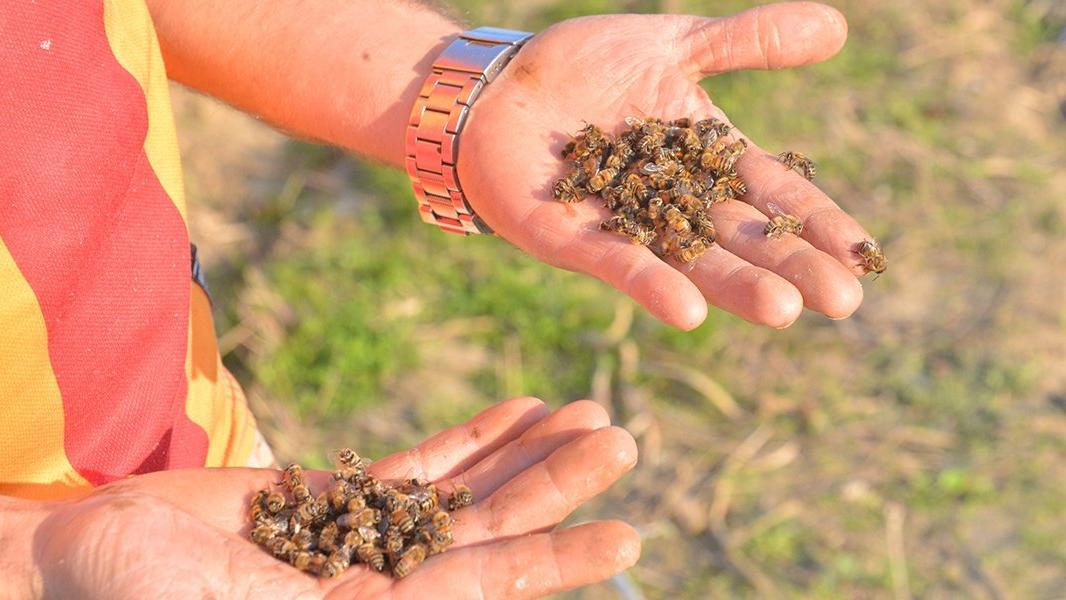 İklim krizi kapıda, arı ölümleri artacak!