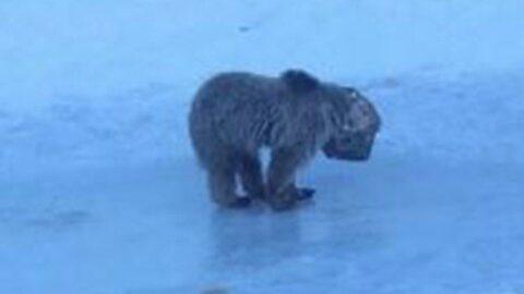 Kafası tenekeye sıkışan yavru ayı kurtarıldı