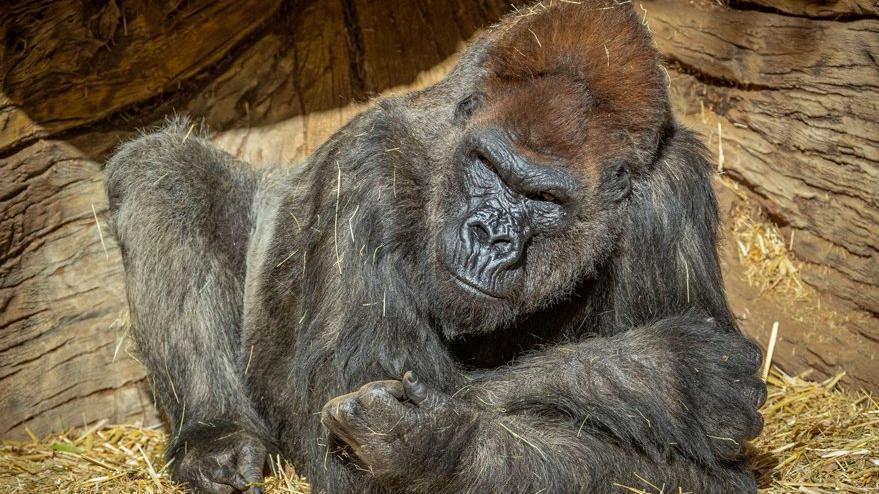 Bilim insanları şaştı: Gorillerin corona virüsü testi pozitif çıktı