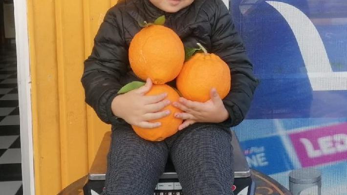 Tanesi 1 kilogramı geçen portakal!