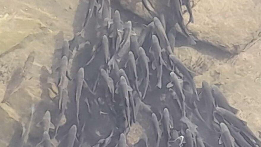 Debisi düşen Kızılırmak'ta binlerce balık yaşamaya çalışıyor