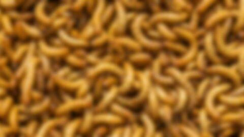 Böcek bazlı yiyecekler soframıza gelecek mi?