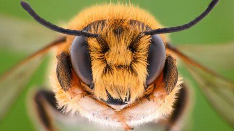 Coronaya iyi geliyor diyerek bal arılarına kendilerini sokturuyorlar