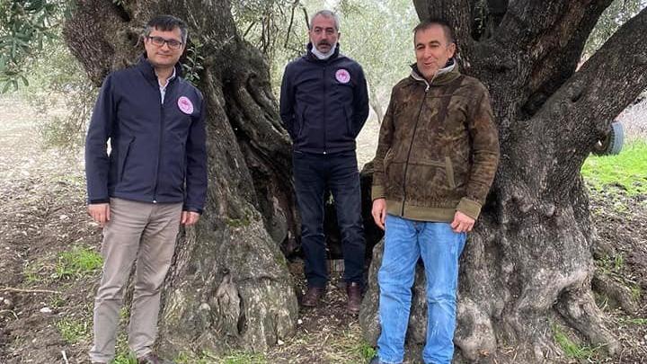 1000 yıllık zeytin ağacına 'anıt ağaç' tescili