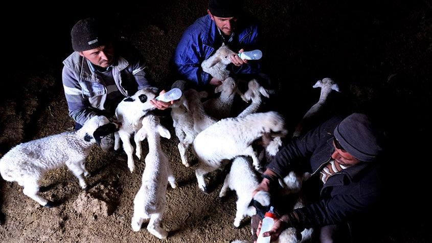 Koyunları çalınınca kuzuları biberonla beslemeye başladılar