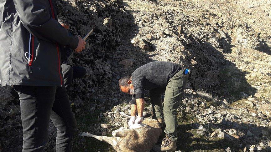 Nesli tükenmekte olan 7 yaban keçisi ölü bulundu