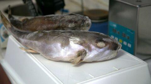 Balon balığı yiyen ikinci kaptan öldü, dört denizci hastanelik oldu