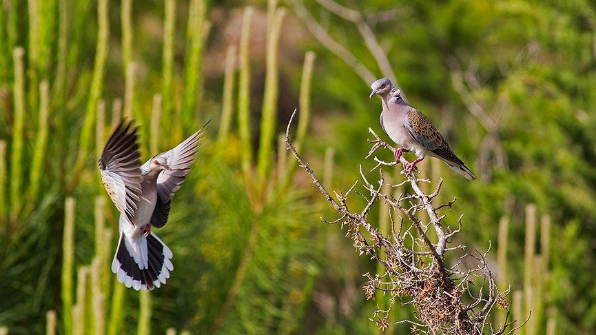 120 güvercin türünün nesli tehlikede, 17'si yok oldu