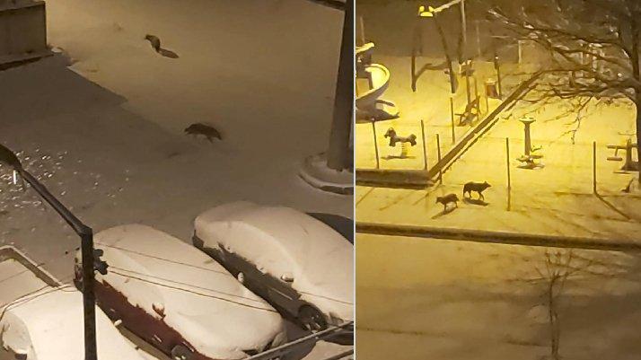 Aç kalan kurtlar şehre indi