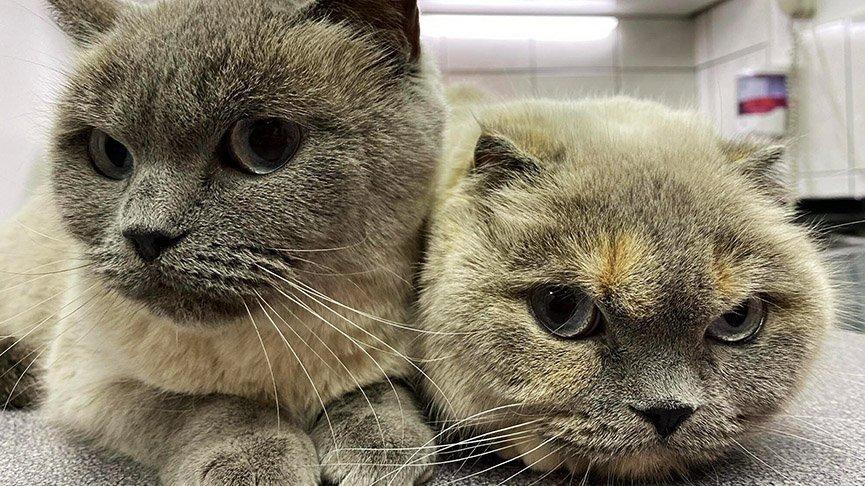 Pandemi kedilerin psikolojisini bozdu: Sakinleştirici kullanıyorlar