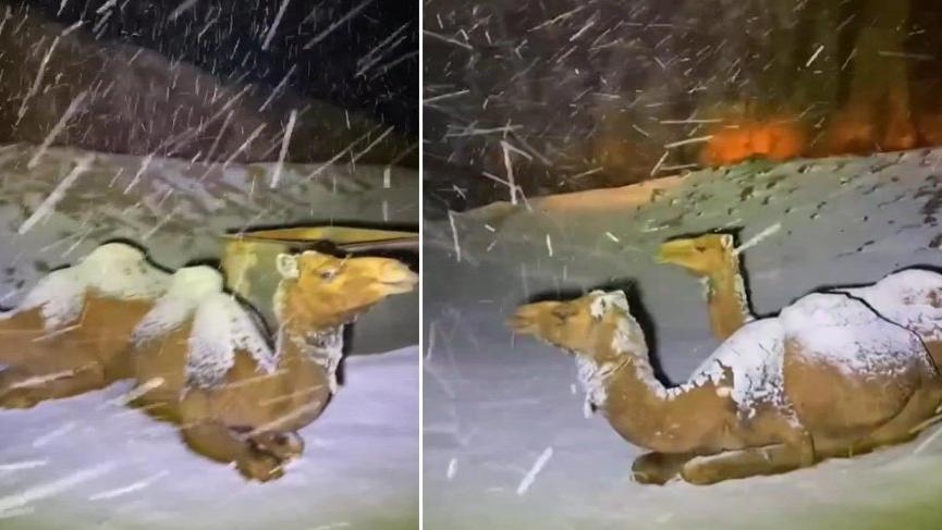 Suudi Arabistan'da karın üzerine çöken develer böyle görüntülendi