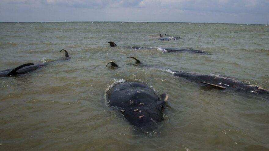 45 balina sığ sularda mahsur