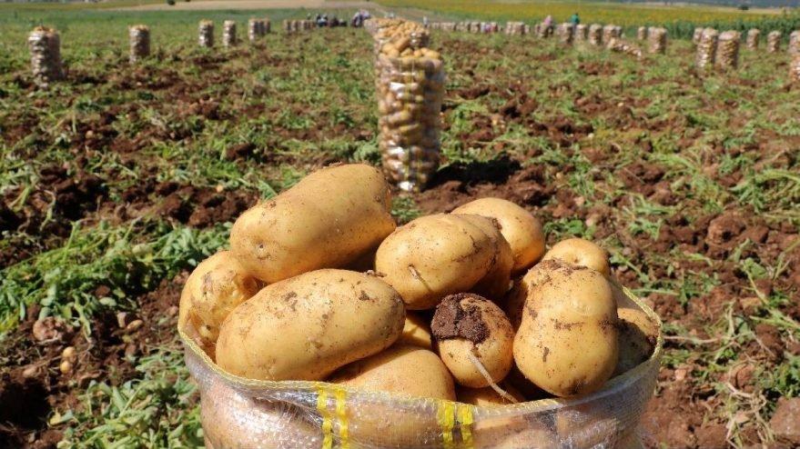 Depodaki patatesi çimlenen üretici isyan etti: Battık!