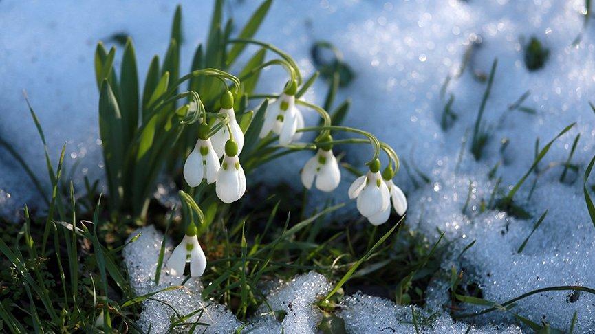 Baharın müjdecisi kardelenler erken çiçek açtı
