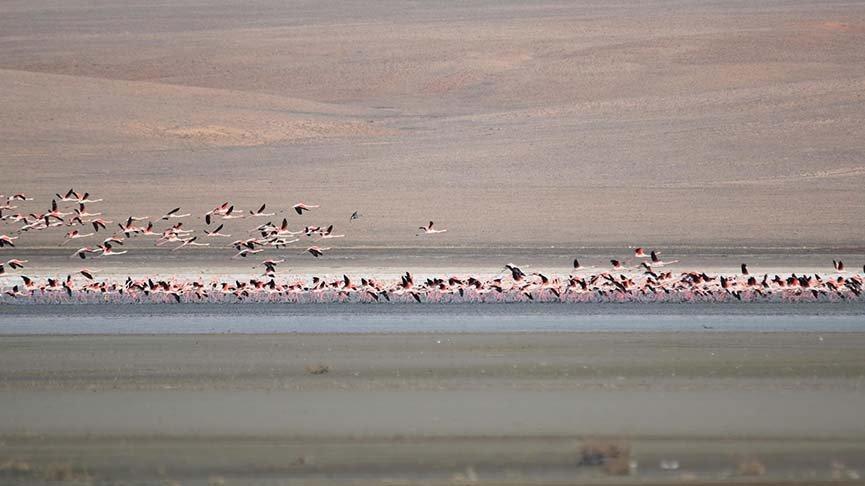 Havalar soğuyunca flamingolar tekrar göç etti