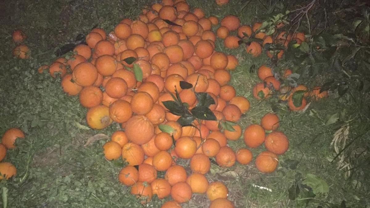 Hırsızlar bu kez de portakal çaldı