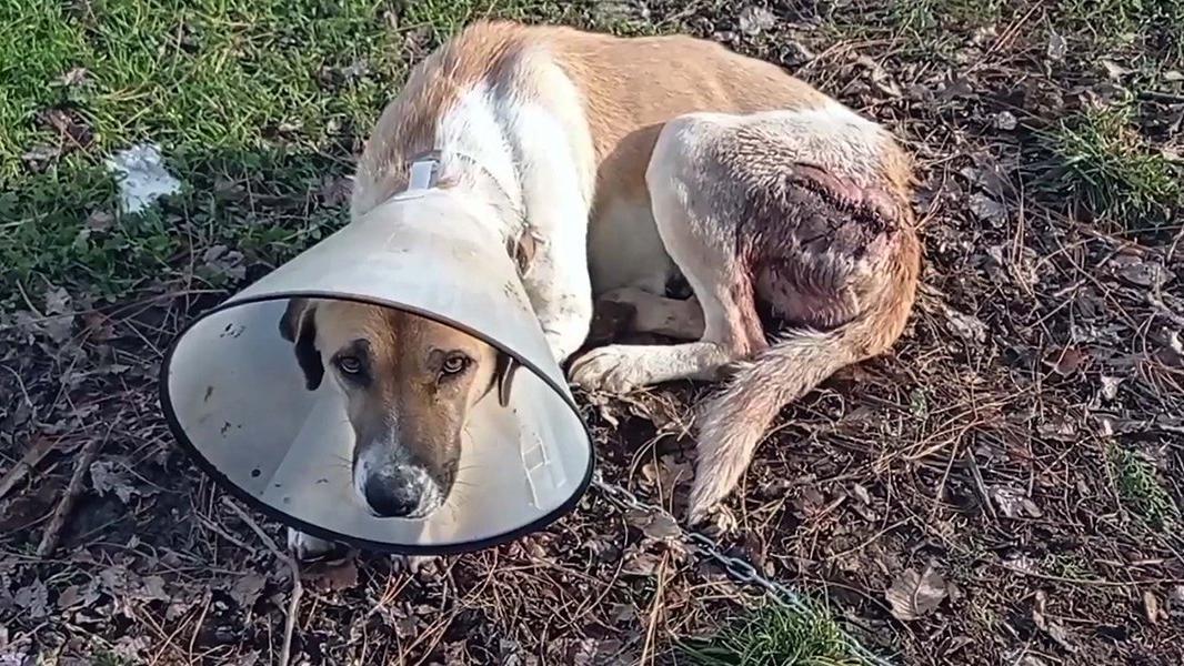 Sokak köpeğinin arka sol kalçasındaki yarım kiloluk tümör alındı