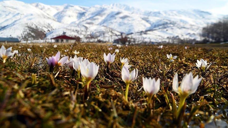 Baharın müjdecisi kardelenler Muş Ovası'nı süsledi