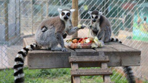Antalya Hayvanat Bahçesi'nde zebra, kanguru, keçi, tavşan ve lemur doğurdu