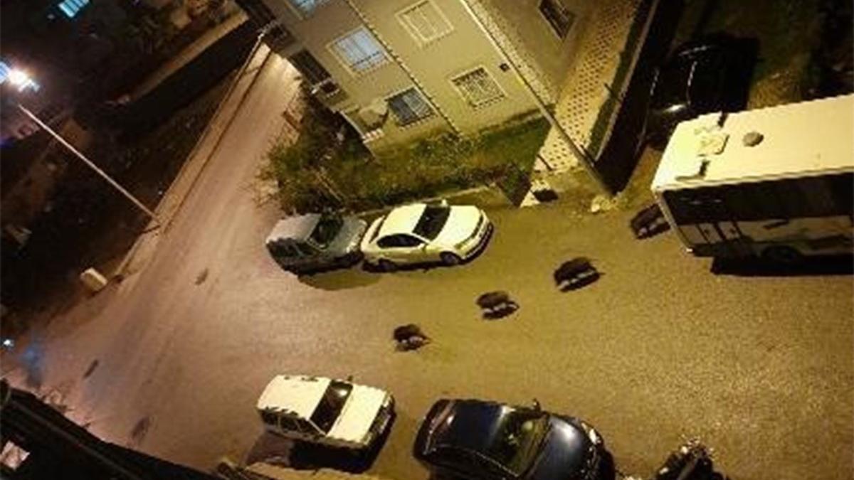 İzmir'de domuzlar şehre indi