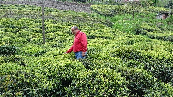 Karadeniz'e 'çay göçü' için 10 gün izole şartı