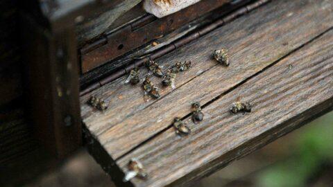 Mevsim normallerinin altındaki sıcaklık arı ölümlerini artırdı
