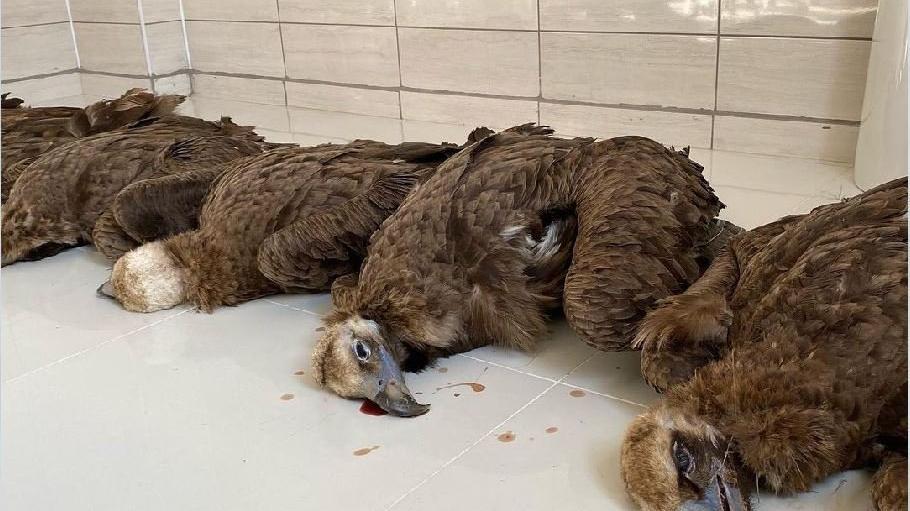 Nesli tehlike altındaki 7 kara akbaba öldürüldü