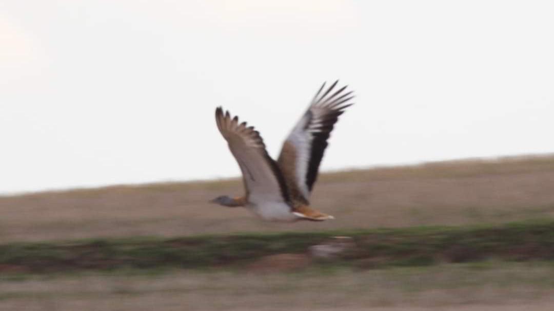 Nesli tükenen Toyu Kuşu Kırıkkale'de