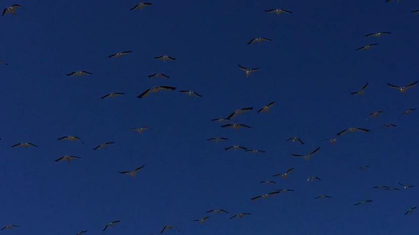 Pelikanlar Avrupa'ya göçüyor