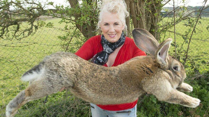 Dünyanın en büyük tavşanı kaçırdılar: Bulana ödül var
