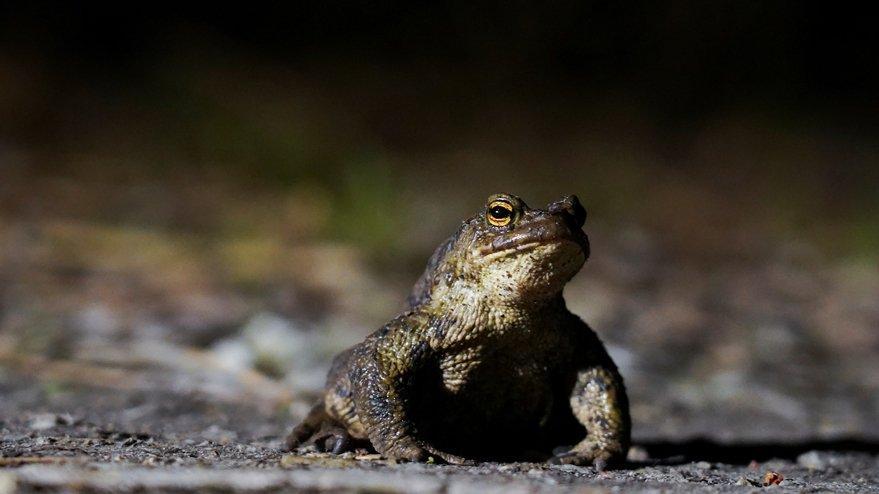 Estonya'nın başkentinde yollar kurbağalar için kapatıldı
