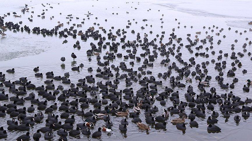 Marmara Gölü'ndeki kuş sayısı belli oldu