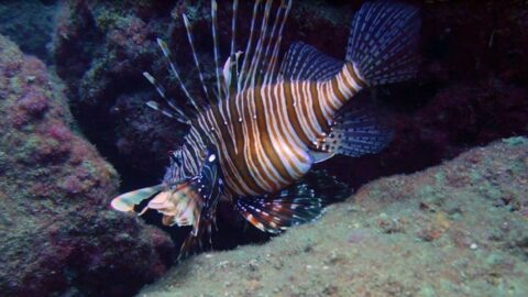 Aslan balıkları Antalya'daki falezlerin habitatını değiştirdi