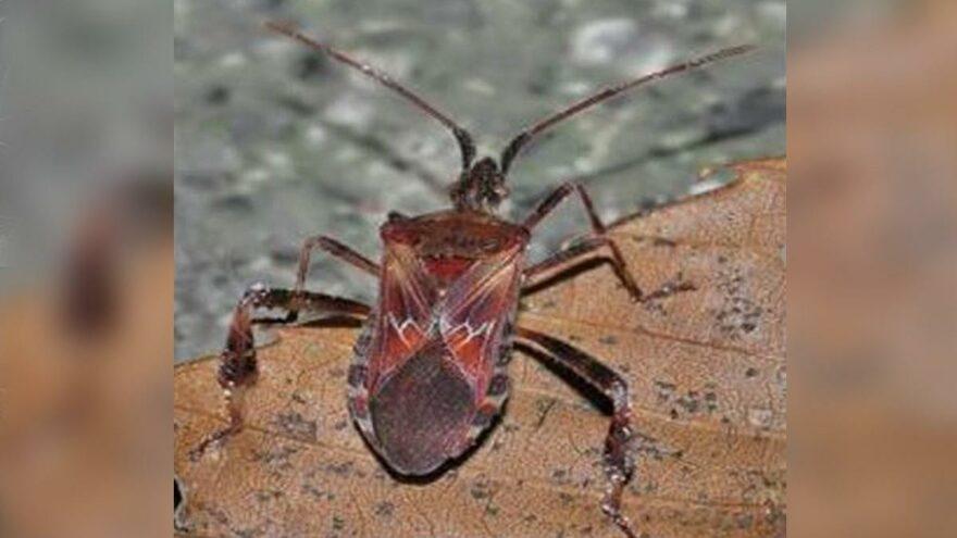 Kuzey Amerika kökenli istilacı böcek, Doğu Anadolu'ya kadar ulaştı