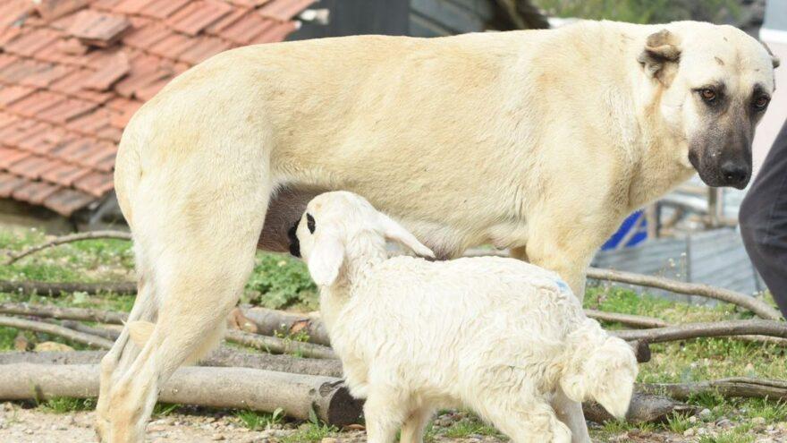 Çoban köpeği, kuzunun 'süt annesi' oldu