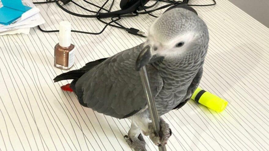 Kaybolan papağanını anonsla sokak sokak aradı