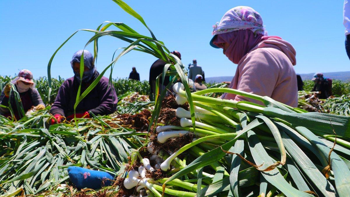 Mevsimlik işçilerin zorlu mesaisi başladı
