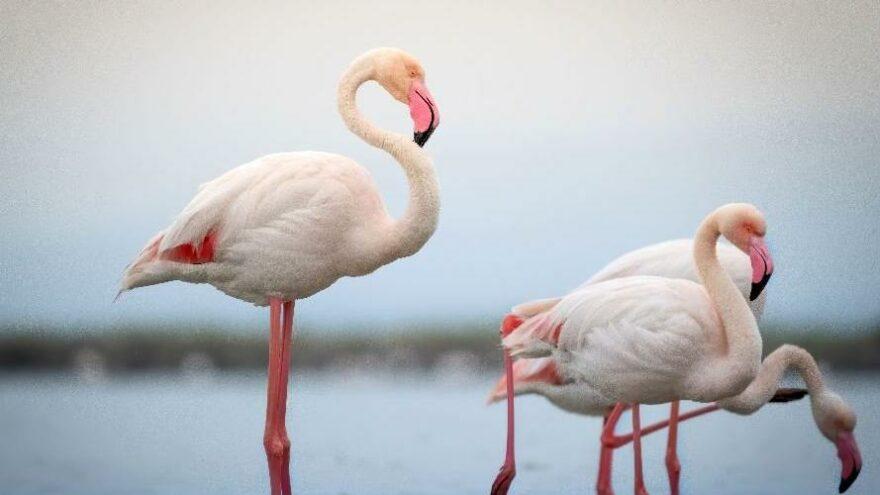 'Dronlar flamingoları strese sokuyor'