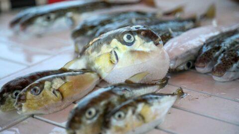 Balon balığı avcılığına destek verilecek