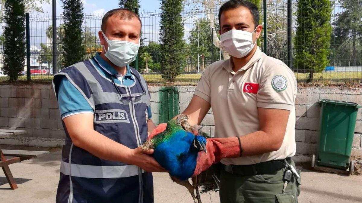 Devletin tavus kuşunu çaldılar