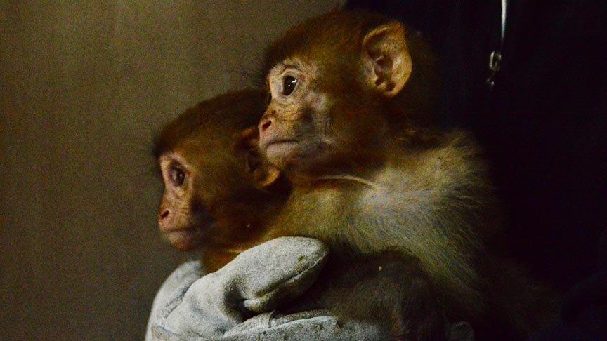 Gürbulak Sınır Kapısı'nda 12 yavru maymun bulundu